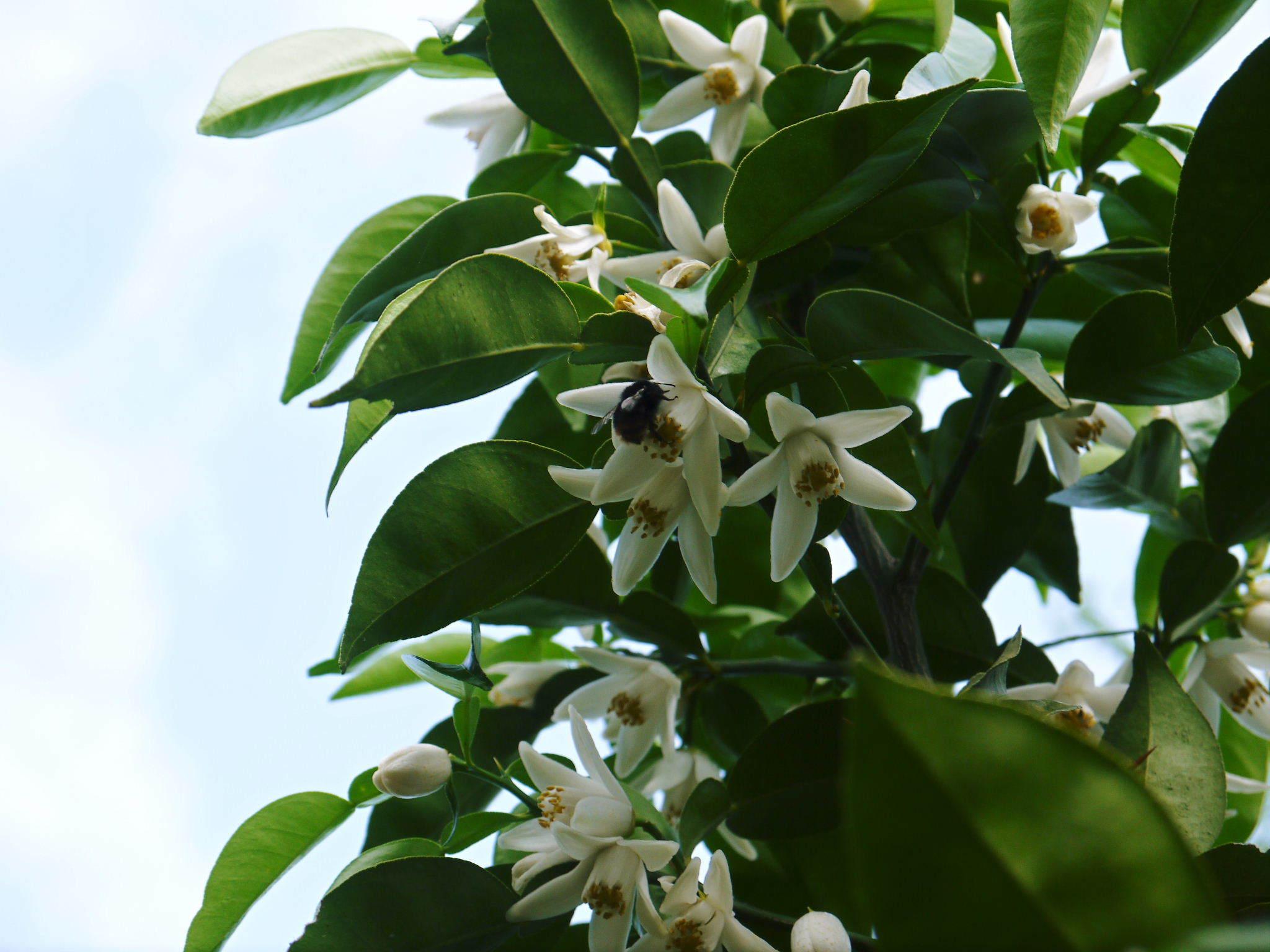 香り高き柚子(ゆず) 今年も元気な花が咲き誇ってます!柚子の花(2020)_a0254656_19062510.jpg