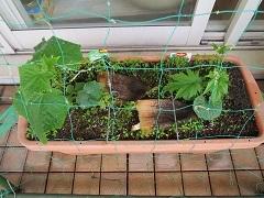 ベランダ菜園は順調_f0045667_07202049.jpg