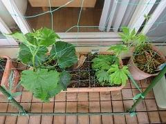 ベランダ菜園は順調_f0045667_07203561.jpg