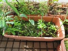 ベランダ菜園は順調_f0045667_07214006.jpg