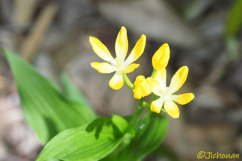 ?キンランの六弁花・・・_a0342569_11370521.jpg