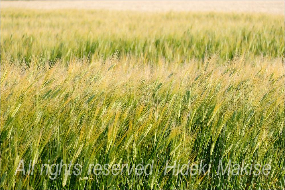収穫間近_c0122685_17111804.jpg
