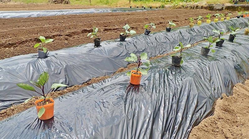 兼業農家は家庭菜園の苗を購入し定植をしました_c0336902_20032966.jpg