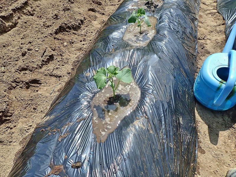兼業農家は家庭菜園の苗を購入し定植をしました_c0336902_20033706.jpg