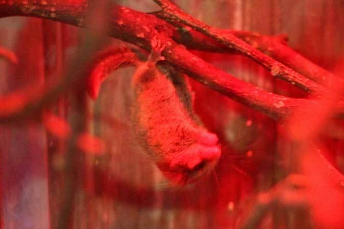 朝一番のマヌルネコ「ユス」~デグー団子と小獣館のパンダ!?(上野動物園 June 2019)_b0355317_21545147.jpg