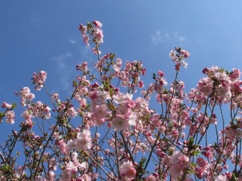 羽幌町スポーツ公園の桜!_d0072917_15104070.jpg
