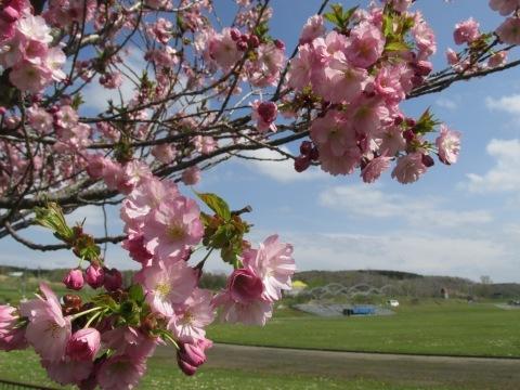 羽幌町スポーツ公園の桜!_d0072917_15112847.jpg