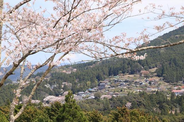 赤木城跡の桜満開(その2)(撮影:4月7日)_e0321325_13200614.jpg