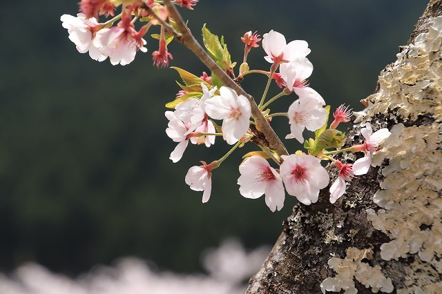 赤木城跡の桜満開(その2)(撮影:4月7日)_e0321325_13204676.jpg