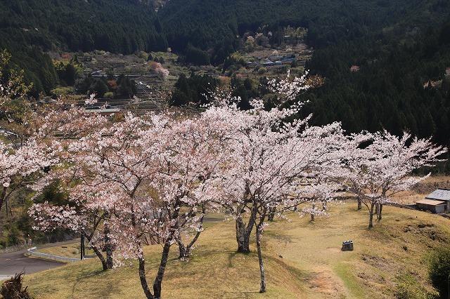 赤木城跡の桜満開(その2)(撮影:4月7日)_e0321325_13212131.jpg