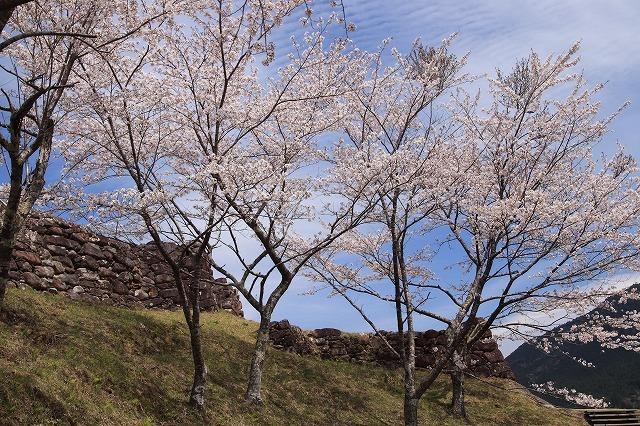 赤木城跡の桜満開(その2)(撮影:4月7日)_e0321325_13235609.jpg