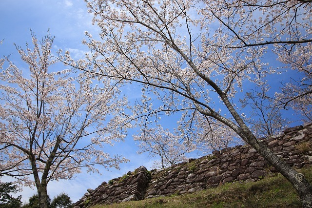赤木城跡の桜満開(その2)(撮影:4月7日)_e0321325_13241416.jpg