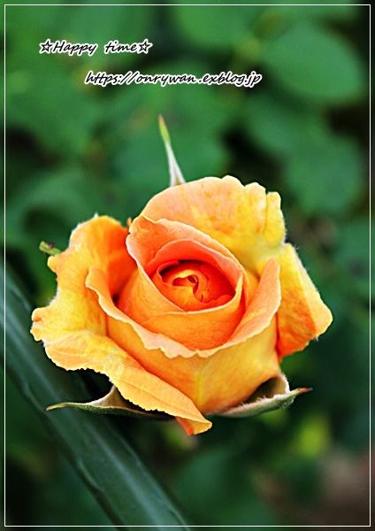 お稲荷さん弁当とバラとつぶやき♪_f0348032_15455755.jpg