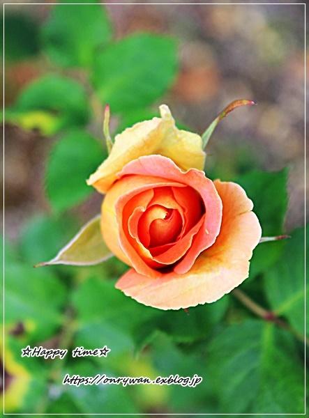 お稲荷さん弁当とバラとつぶやき♪_f0348032_16440507.jpg