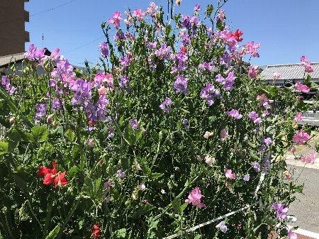 2020 小さな庭の花たちその2_b0063438_11085766.jpg