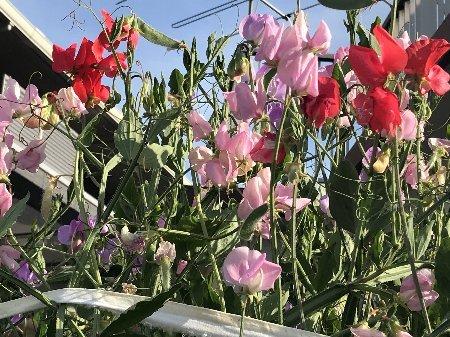 2020 小さな庭の花たちその2_b0063438_11104345.jpg