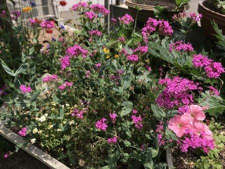 2020 小さな庭の花たちその2_b0063438_11112362.jpg