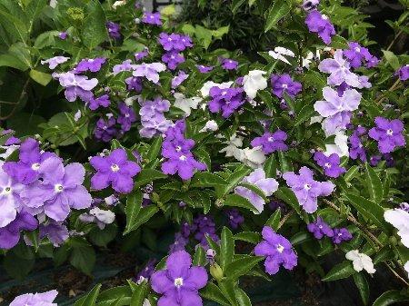 2020年春 小さな庭の花たちその1_b0063438_11340865.jpg