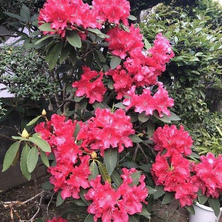 2020年春 小さな庭の花たちその1_b0063438_11343535.jpg