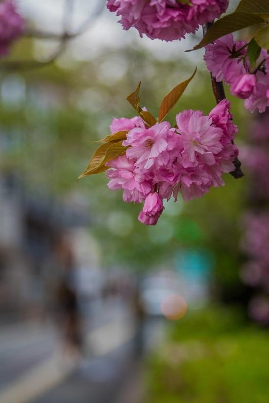 2020京都桜~八重桜_e0363038_14020940.jpg