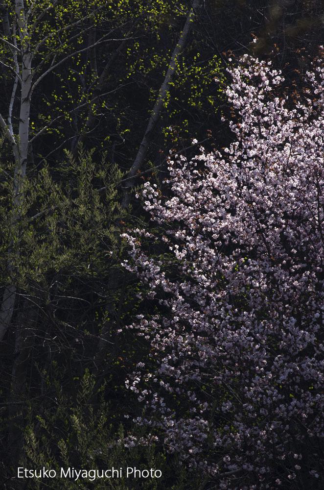 桜 輝いて_f0152939_11203646.jpg