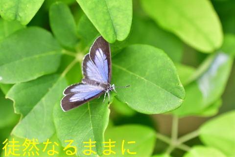 アサマイチモンジ・ウラゴマダラシジミ初見_d0285540_19150724.jpg