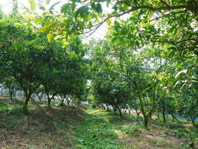 究極の柑橘「せとか」今年も完売御礼!そして次のせとかの栽培はすでに始まっています!花と花芽剪定の様子_a0254656_15382599.jpg