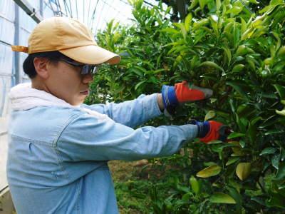 究極の柑橘「せとか」今年も完売御礼!そして次のせとかの栽培はすでに始まっています!花と花芽剪定の様子_a0254656_15411904.jpg