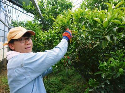 究極の柑橘「せとか」今年も完売御礼!そして次のせとかの栽培はすでに始まっています!花と花芽剪定の様子_a0254656_16315227.jpg