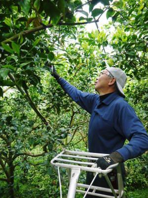 究極の柑橘「せとか」今年も完売御礼!そして次のせとかの栽培はすでに始まっています!花と花芽剪定の様子_a0254656_16375629.jpg