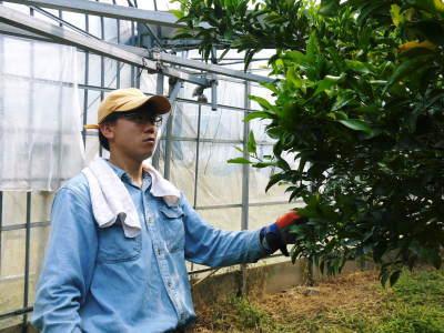 究極の柑橘「せとか」今年も完売御礼!そして次のせとかの栽培はすでに始まっています!花と花芽剪定の様子_a0254656_16495182.jpg
