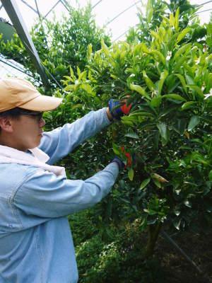 究極の柑橘「せとか」今年も完売御礼!そして次のせとかの栽培はすでに始まっています!花と花芽剪定の様子_a0254656_16525925.jpg