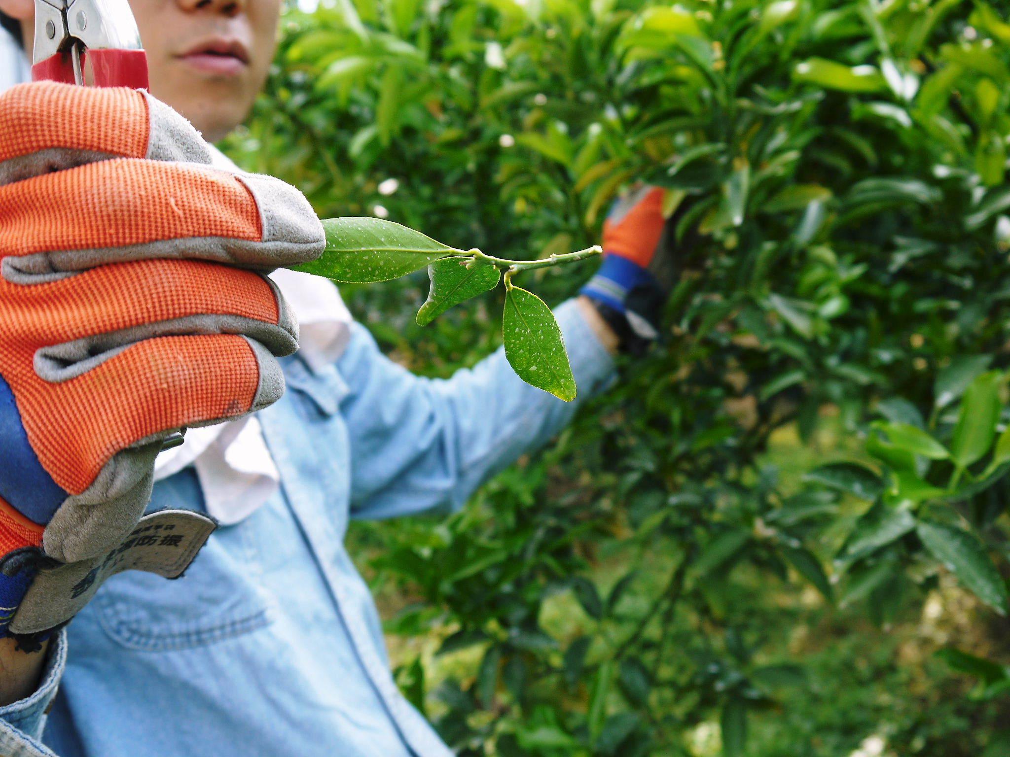 究極の柑橘「せとか」今年も完売御礼!そして次のせとかの栽培はすでに始まっています!花と花芽剪定の様子_a0254656_17075404.jpg