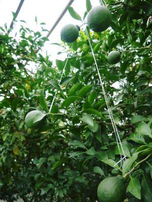 究極の柑橘「せとか」今年も完売御礼!そして次のせとかの栽培はすでに始まっています!花と花芽剪定の様子_a0254656_18483057.jpg