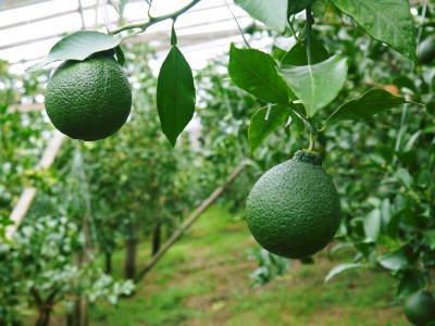 究極の柑橘「せとか」今年も完売御礼!そして次のせとかの栽培はすでに始まっています!花と花芽剪定の様子_a0254656_18504411.jpg