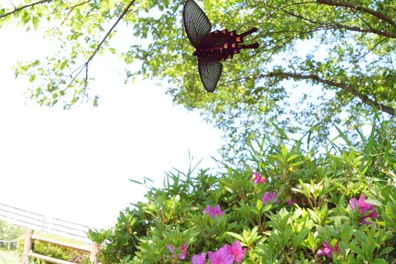 小畔川便り(初夏のアゲハ-3(吸水):2020/5/8,10)_f0031682_16551627.jpg