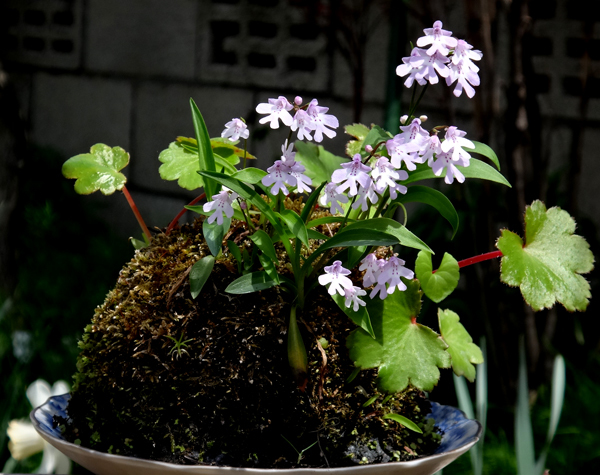 小山飾りに咲いたイワチドリなど♪_a0136293_15382468.jpg