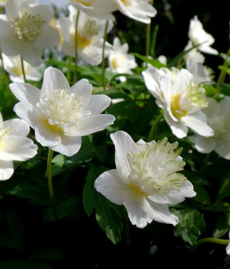 小山飾りに咲いたイワチドリなど♪_a0136293_15405895.jpg