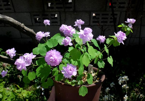 小山飾りに咲いたイワチドリなど♪_a0136293_15435520.jpg