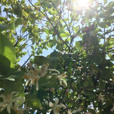 ☆レモンのお花☆_d0035397_19161800.jpeg