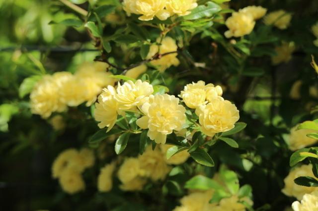 宿根草、山野草が咲くマイガーデン_e0397815_20261597.jpg