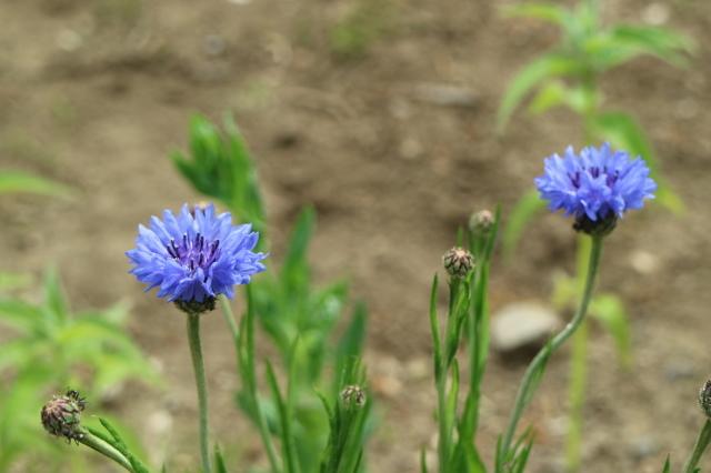 宿根草、山野草が咲くマイガーデン_e0397815_21133159.jpg