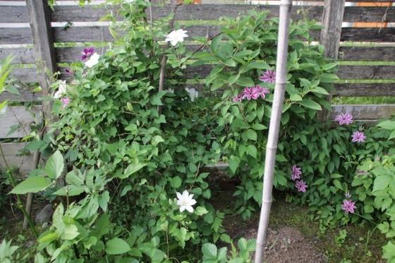 昨日の夕暮れ 今朝の庭_b0132338_07372175.jpeg