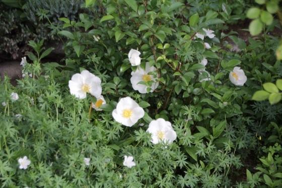 昨日の夕暮れ 今朝の庭_b0132338_07374094.jpeg