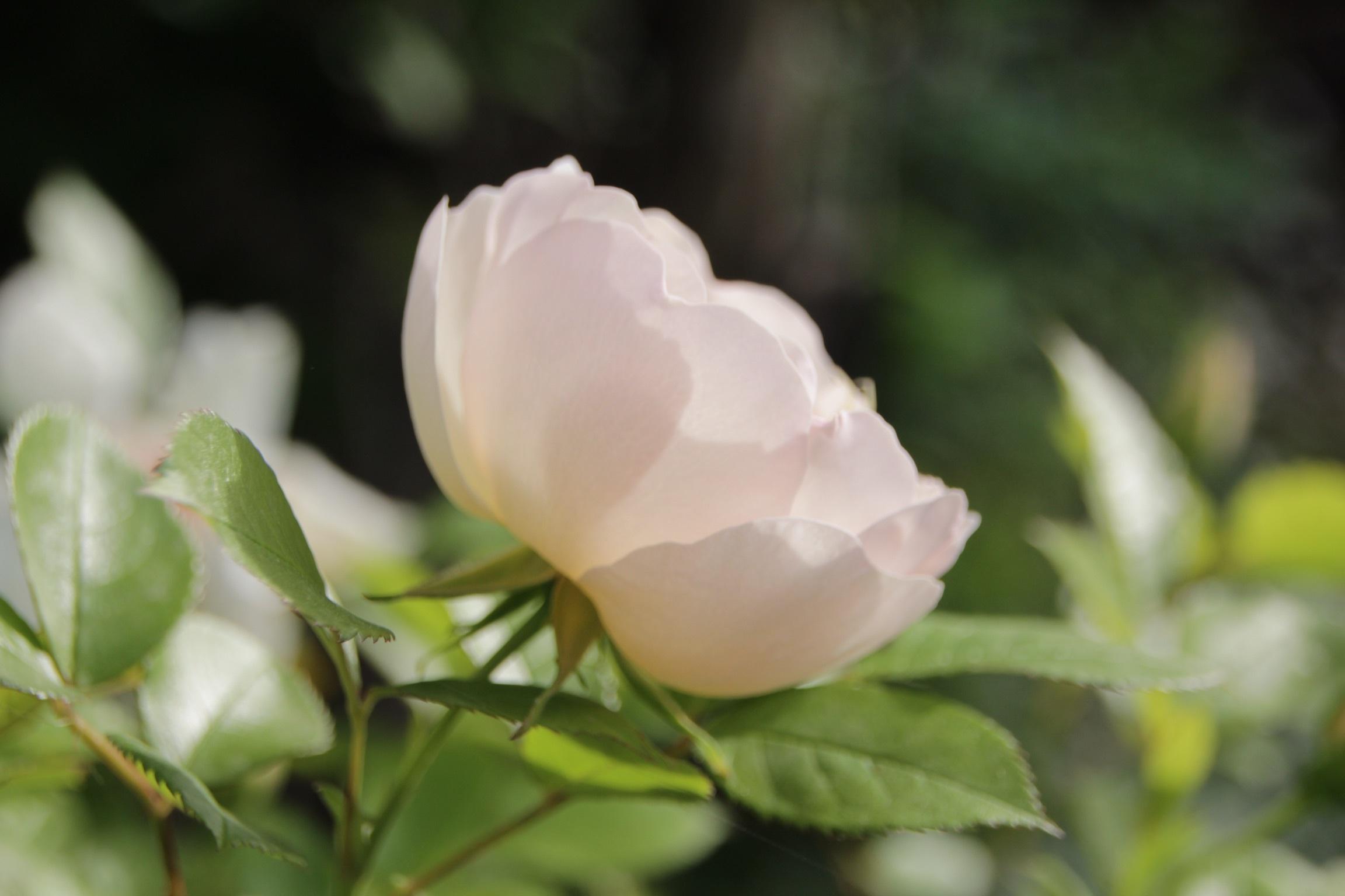 昨日の夕暮れ 今朝の庭_b0132338_07382900.jpeg