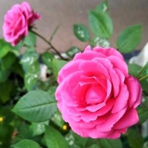 バラが咲いた、その後。_c0228952_13373888.jpg