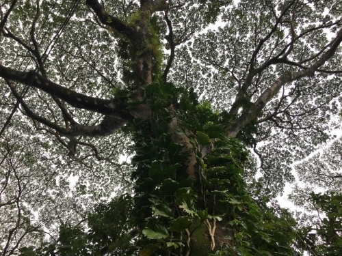 ハワイの旅\'18~ 「マノアの滝」トレイル_e0326953_22113182.jpg