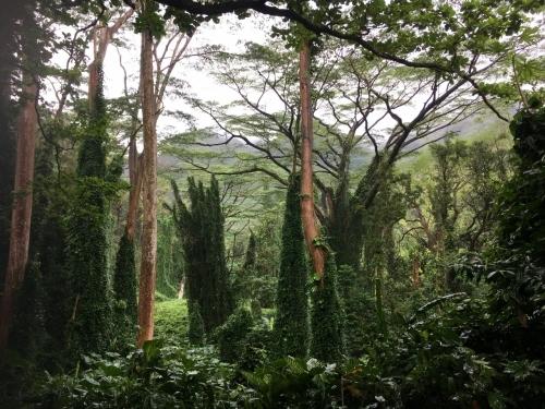 ハワイの旅\'18~ 「マノアの滝」トレイル_e0326953_22173173.jpg