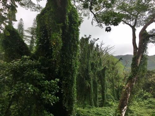 ハワイの旅\'18~ 「マノアの滝」トレイル_e0326953_22532154.jpg