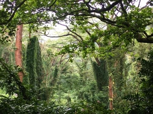ハワイの旅\'18~ 「マノアの滝」トレイル_e0326953_23040468.jpg